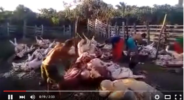 Carne de boi morto é tratada com total imundice em São Domingos-Maranhão